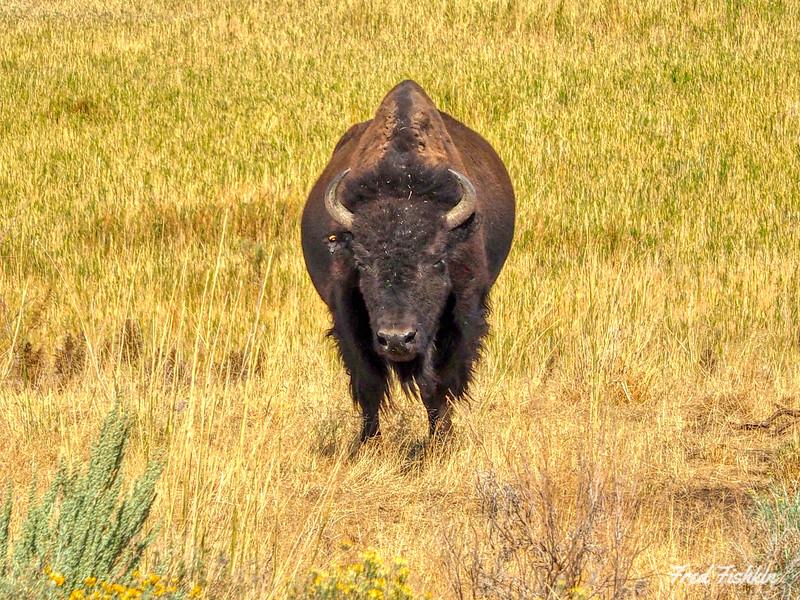 Buffalo ahead.jpg