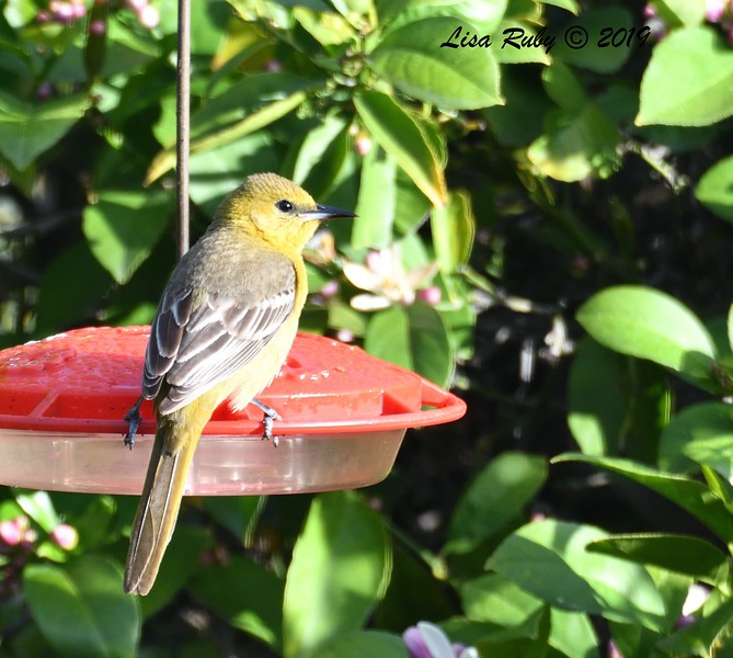 Hooded Oriole - 3/29/2019  - 3/29/2019 - Backyard Sabre Springs
