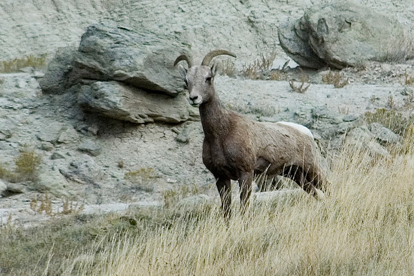 Bighorn Sheep - Badlands SD