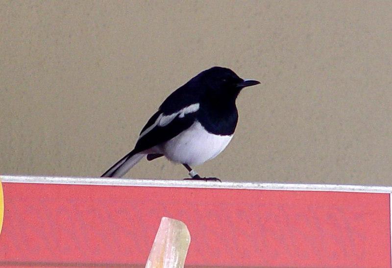 Oriental Magpie Robi