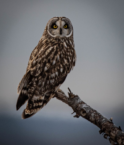 Short-eared Owl male portrait