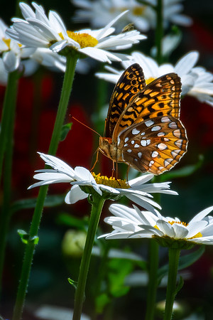 Fritillary - Great Spangled