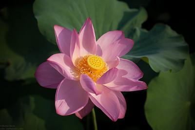 蓮の花 Lotus Flowers 2010