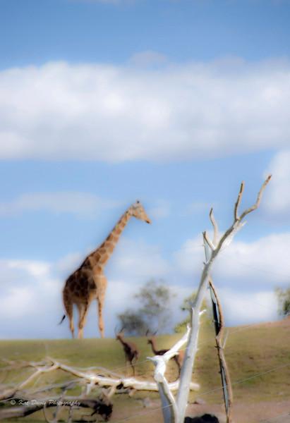 Dreaming of Giraffes.jpg