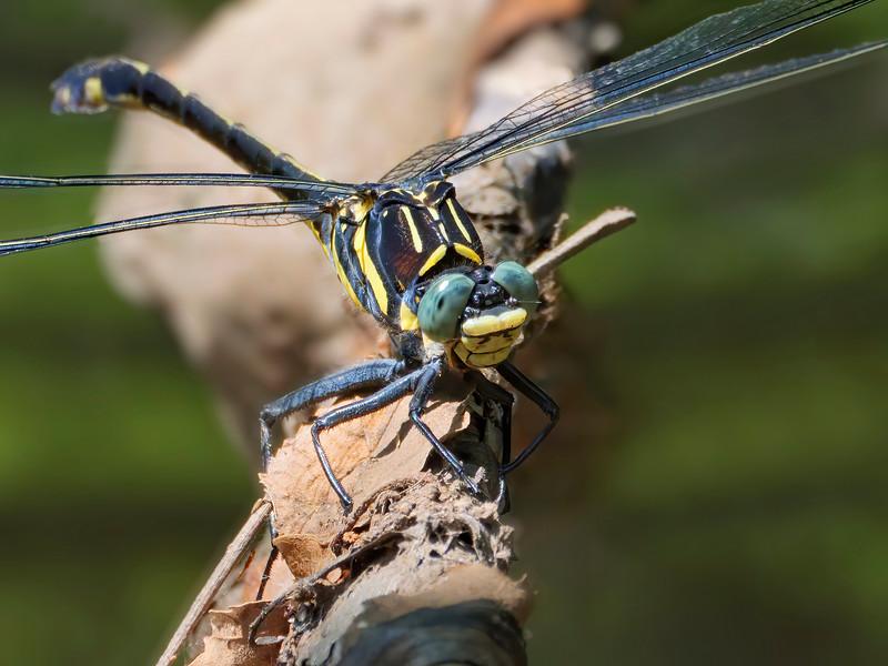 Dragonhunter (Hagenius brevistylus), female