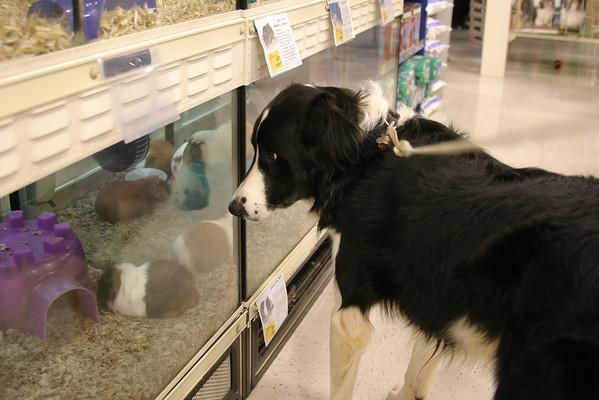 2005 12.03 Boomer Stalking Guinea Pigs in PetSmart