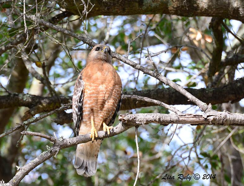 Red-shouldered Hawk - 2/16/14 - Dos Picos Park, Ramona
