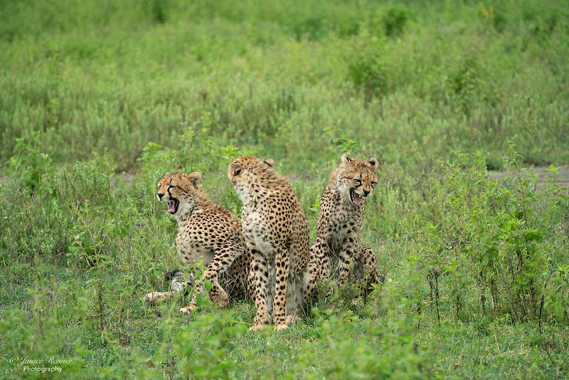 The Three Cheetahs