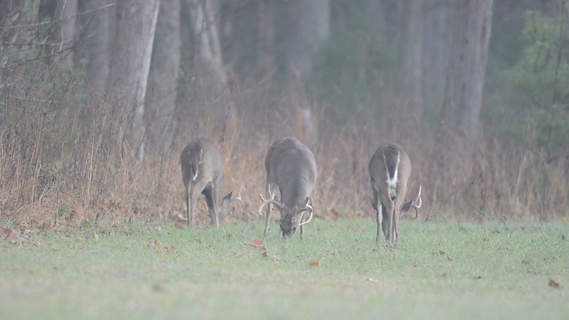 Whitetail_graze_8412_IS_24.mov