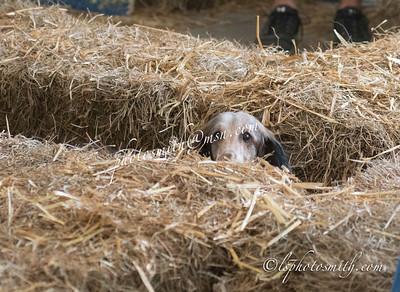 Barn Hunt Trial Sunday AM 2014