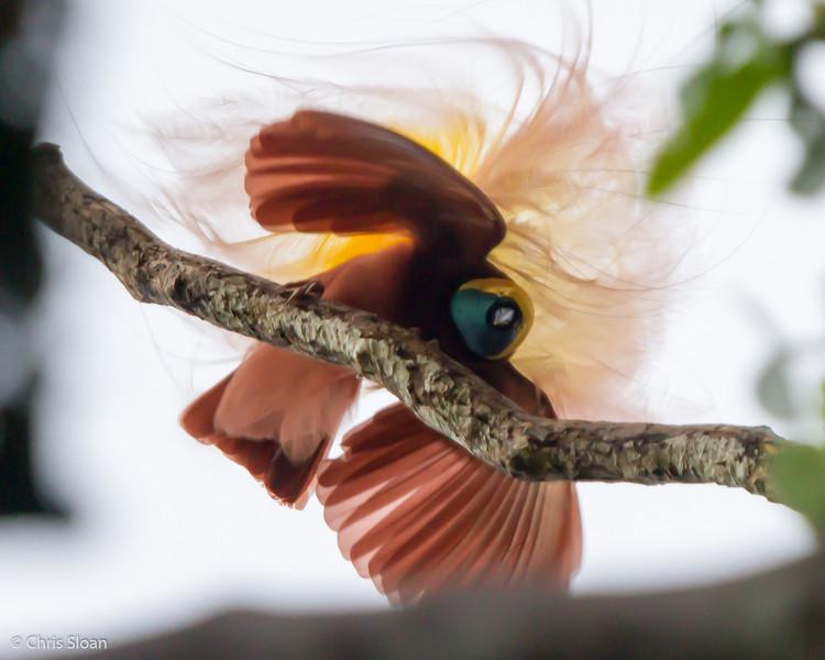 Greater Bird-of-Paradise at KM 17 near Kiunga, Papua New Guinea (10-10-2013) 016-170.jpg