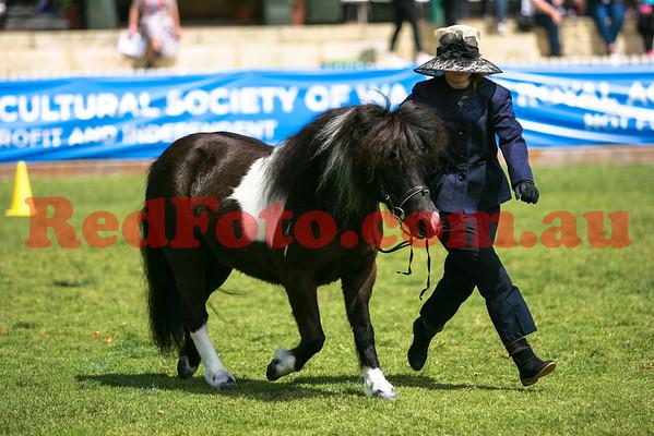 2014 09 29 Perth Royal Show APSB Shetland