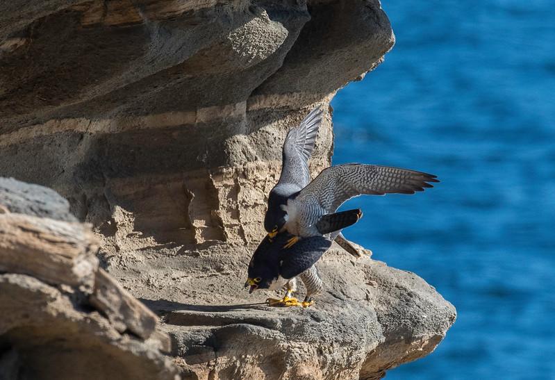 Falcons mating7.jpg