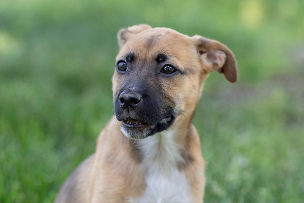 Boxer Pup Blonde