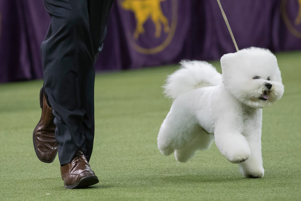 . Handler Bill McFadden shows Flynn, a bichon frise, in the best in show competition during the 142nd Westminster Kennel Club Dog Show, Tuesday, Feb. 13, 2018, at Madison Square Garden in New York. Flynn won best in show. (AP Photo/Mary Altaffer)