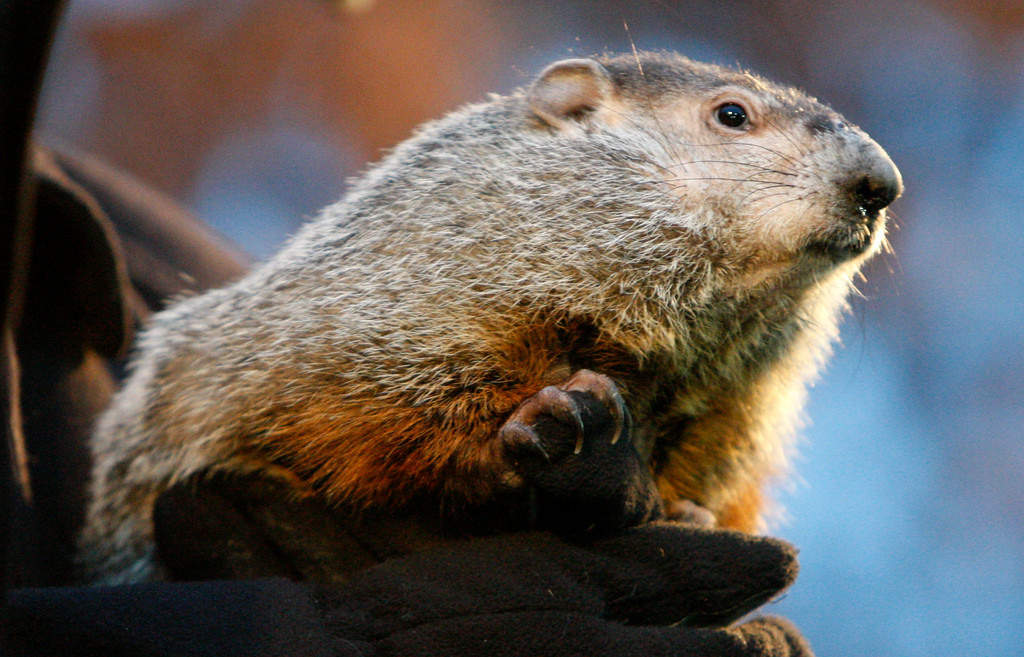 . Punxsutawney Phil after emerging from his burrow on Gobblers Knob in Punxsutawney, Pa., to see his shadow and forecast six more weeks of winter weather Tuesday, Feb. 2, 2010.  (AP Photo/Gene J. Puskar)