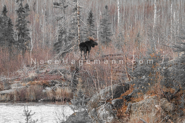 Moose Fall 2015