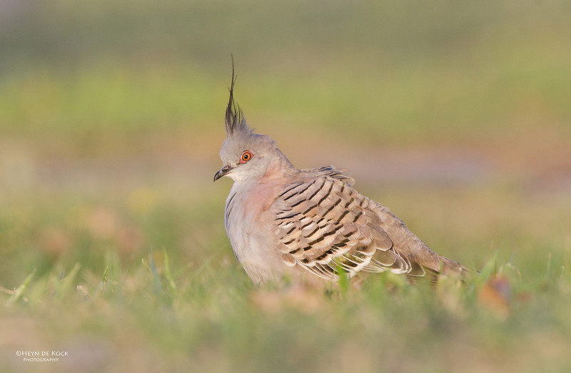 Crested Pigeon, Clear Island Waters, QLD, Aus.jpg