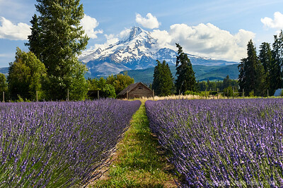 Mt Hood & the Lavender Fields