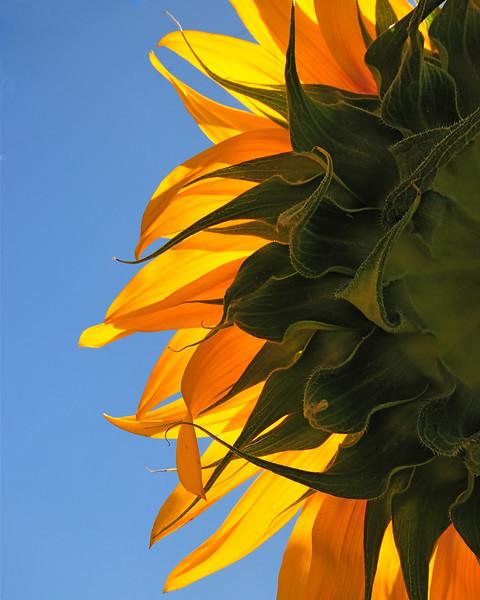 Sun Flower (new)