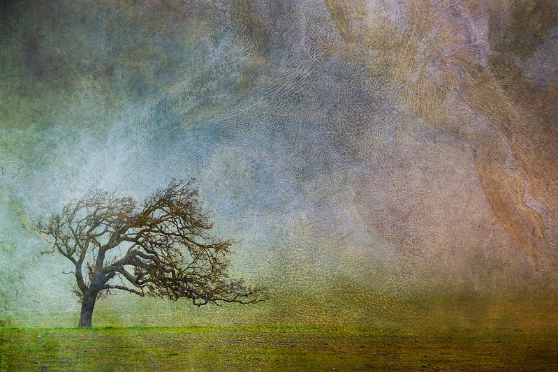 Lone Oak in Fog