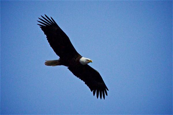 Essex CT Bald Eagles