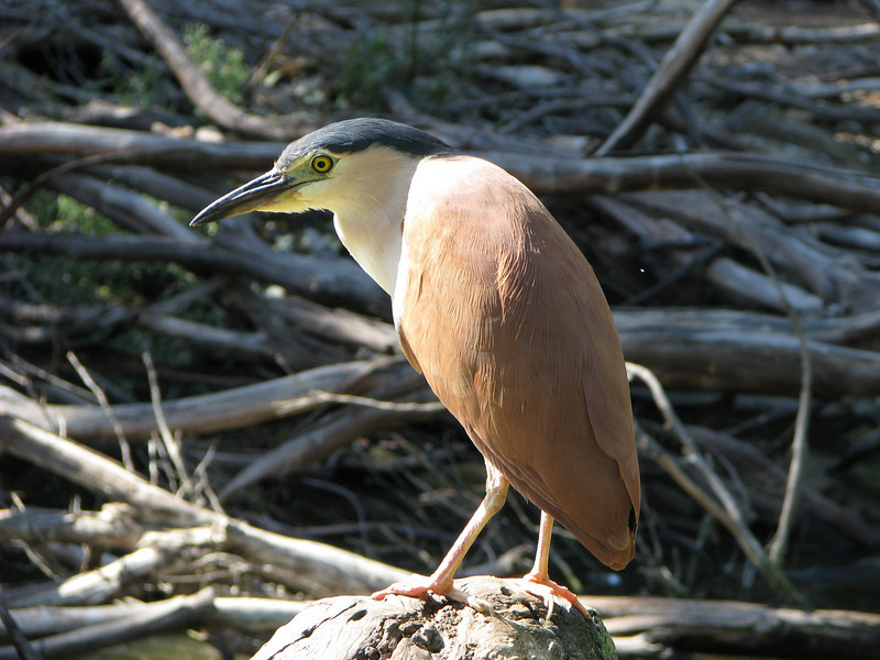 Rufous Night Heron.JPG