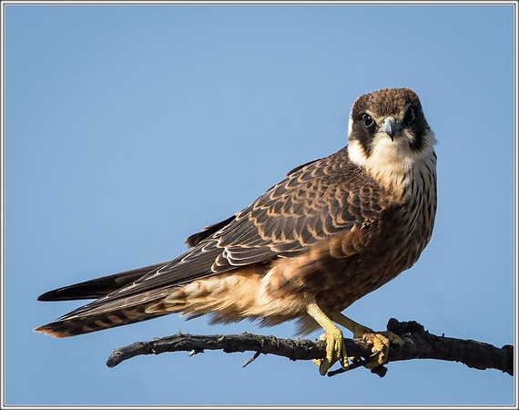 [FALCONIFORMES]    Falcons, Hobbies & Kestrels
