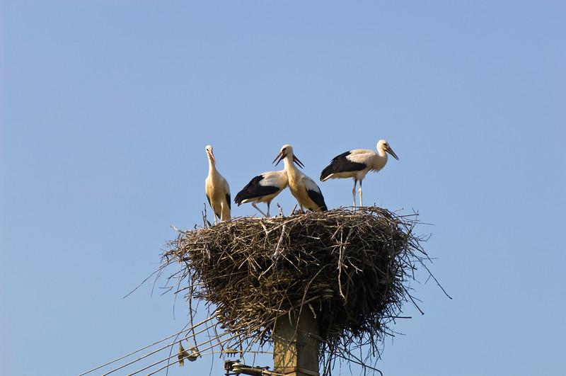 Stork nest, Salistea de Sus, Maramures, Romania