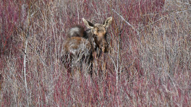 Molting Moose