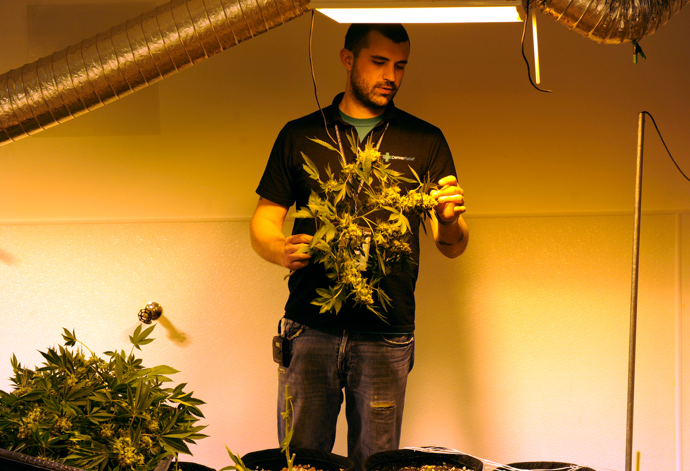 . Kayvan Khalatbari owns Denver Relief, a marijuana  growing, dispensary, and consulting business. Khalatbari and his employees are  meticulous in their marijuana cultivation from start to finish and says the process takes constant care and vigilance by anyone considering growing the plant. (Photo By Kathryn Scott Osler/The Denver Post)
