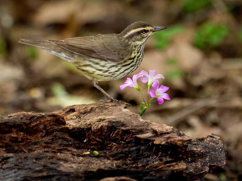 Northern Waterthrush.
