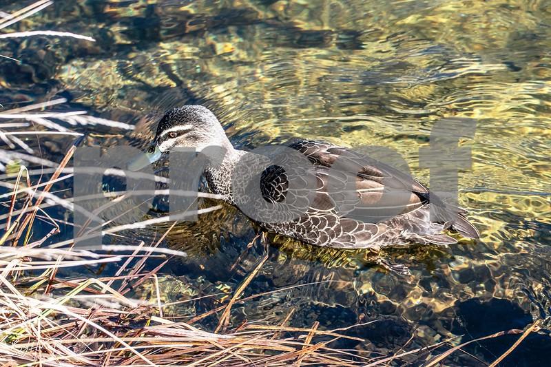 Thredbo river duck 2 june 19,2019-1 - Copy.jpg