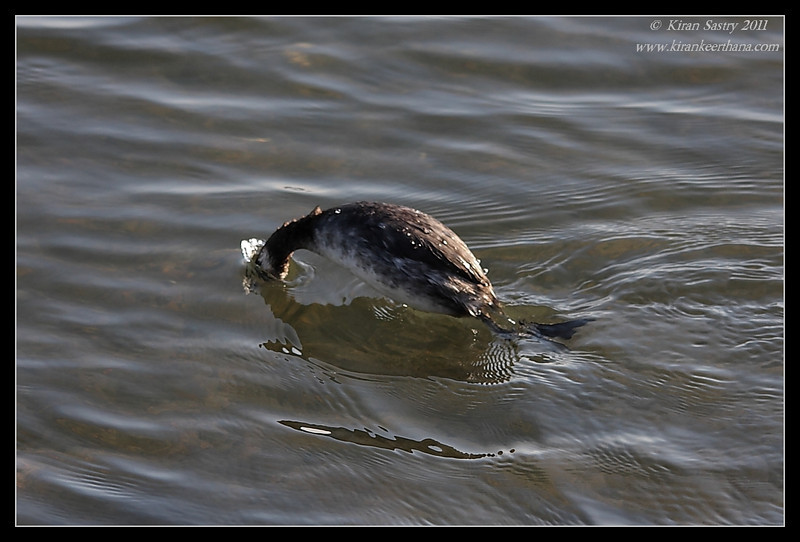 Eared Grebe diving for food, Bolsa Chica Ecological Reserve, Orange County, California, February 2011