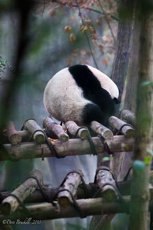 Chengdu-Panda Breeding Center