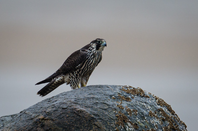 Peregrine Falcon on Emersons Rock 1.jpg