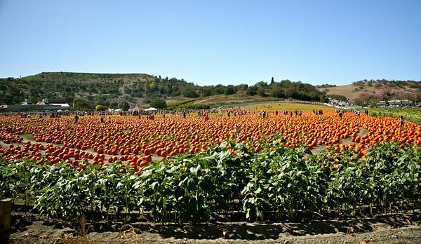 Pumpkins Galore - CalPoly Pomona
