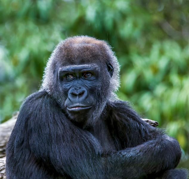 Gorilla-14.jpg