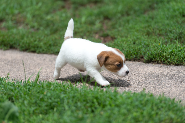 Phoebe x Squire pups 7-11-2020