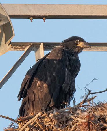 Bald Eagle Nest BE994 - April 7, 2021