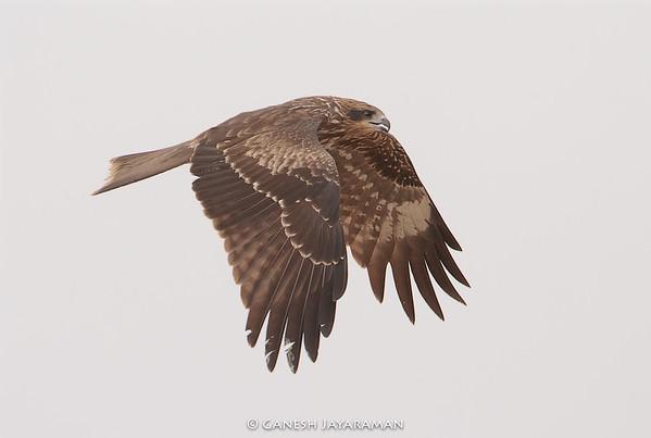 Black-eared Kite (Milvus migrans lineatus)