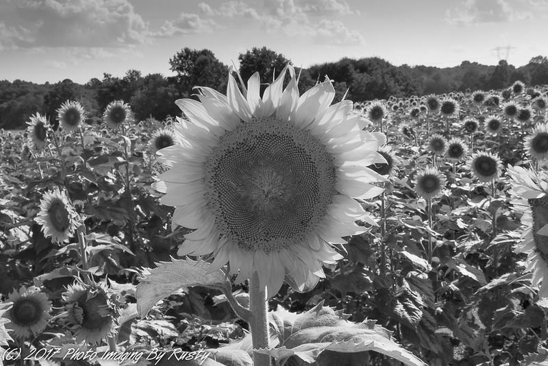 Sun Flowers-5.JPG