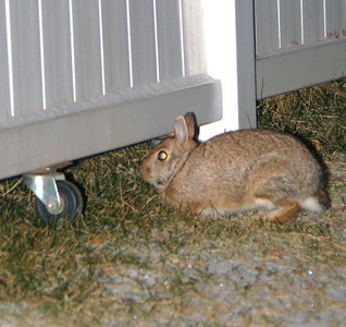 Rabbit in my Yard, Dutch Hill, Tamaqua (1-20-2012)