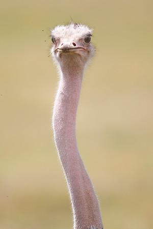 Ostrich (Struthionidae)