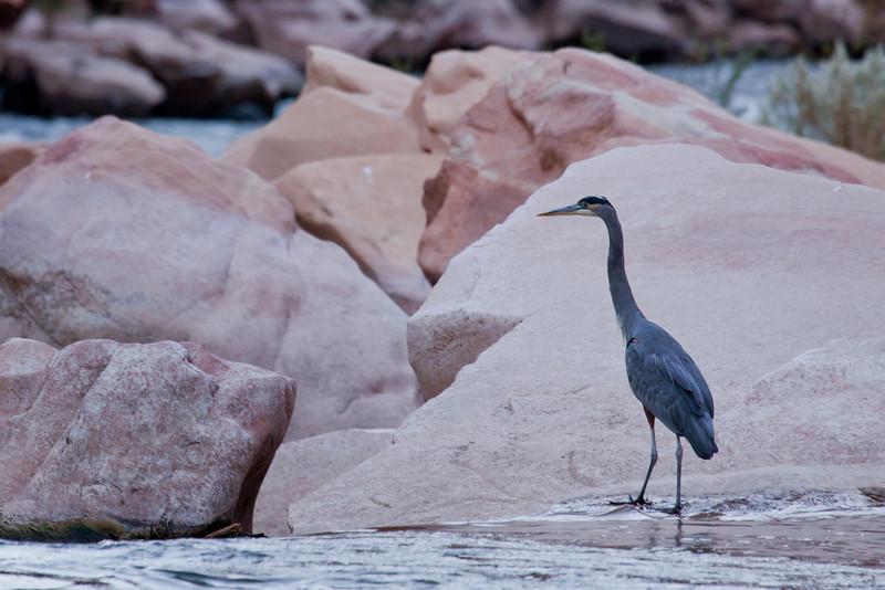 Heron below House Rock rapid