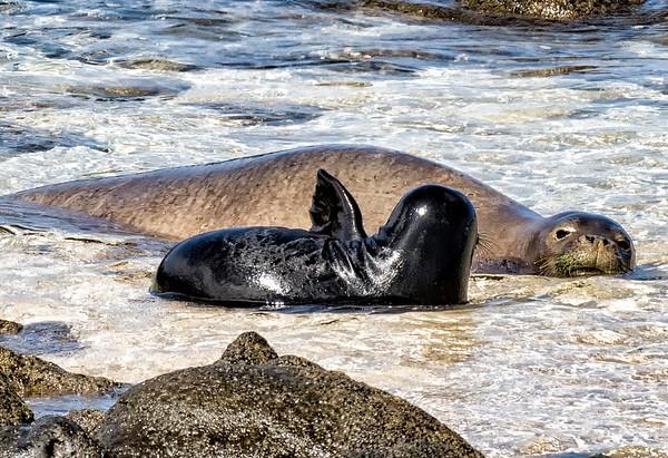 Molokai Monk Seals