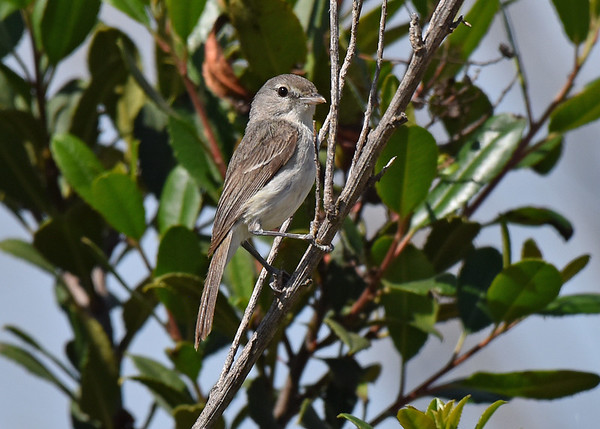 Vireo, Least Bell's