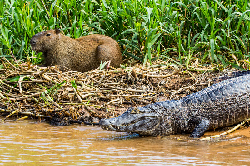 Caiman and Capybara