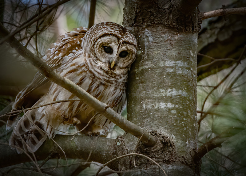 _6000884-Edit Barred Owl male watching ravens.jpg