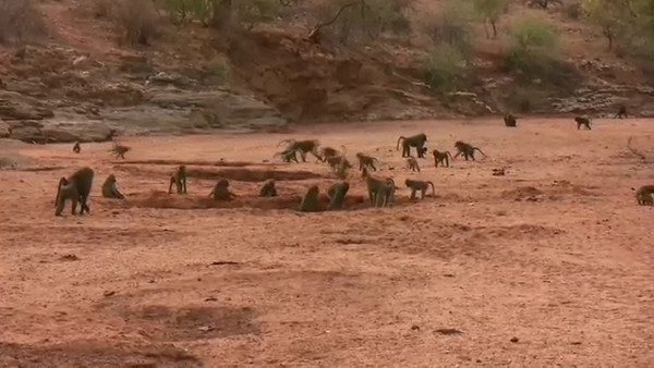 Click to play video: Baboons at play.